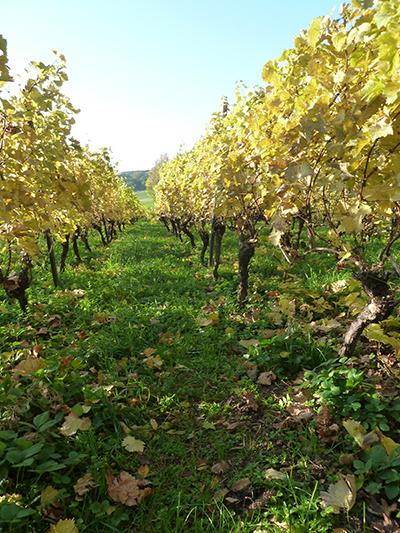 efterår i vinmarken